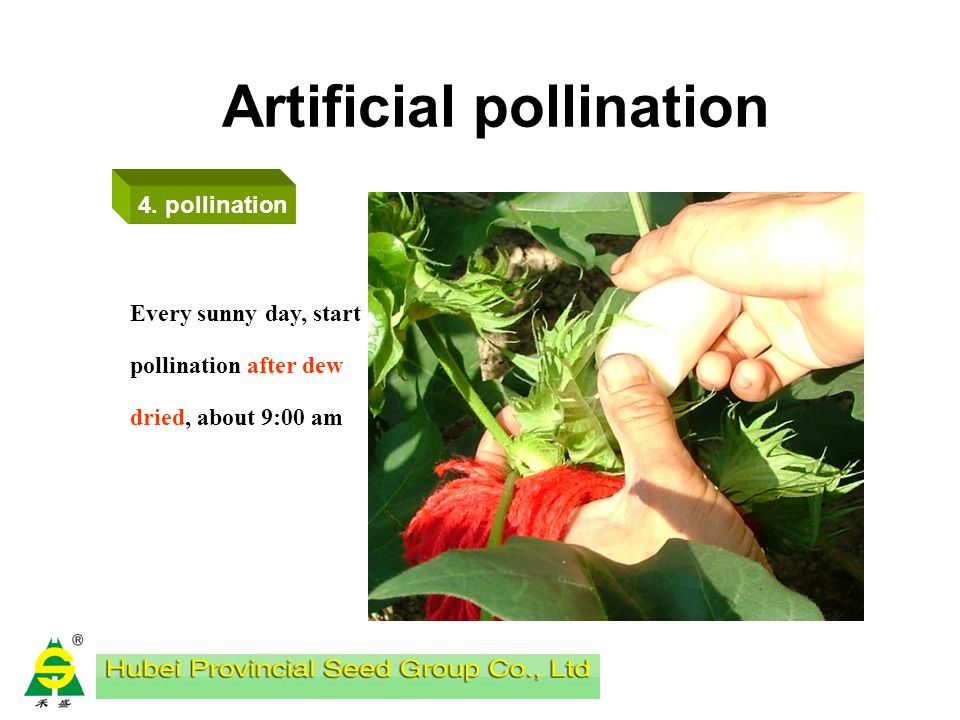 Artificial pollination 4.Pollen collection b. Issues for pollen preservation If the next day may rain, fetch the male plant ready-flowering buds in ad