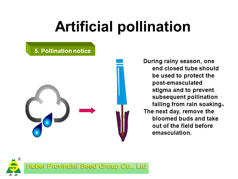 Artificial pollination 4. pollination Every sunny day, start pollination after dew dried, about 9:00 am