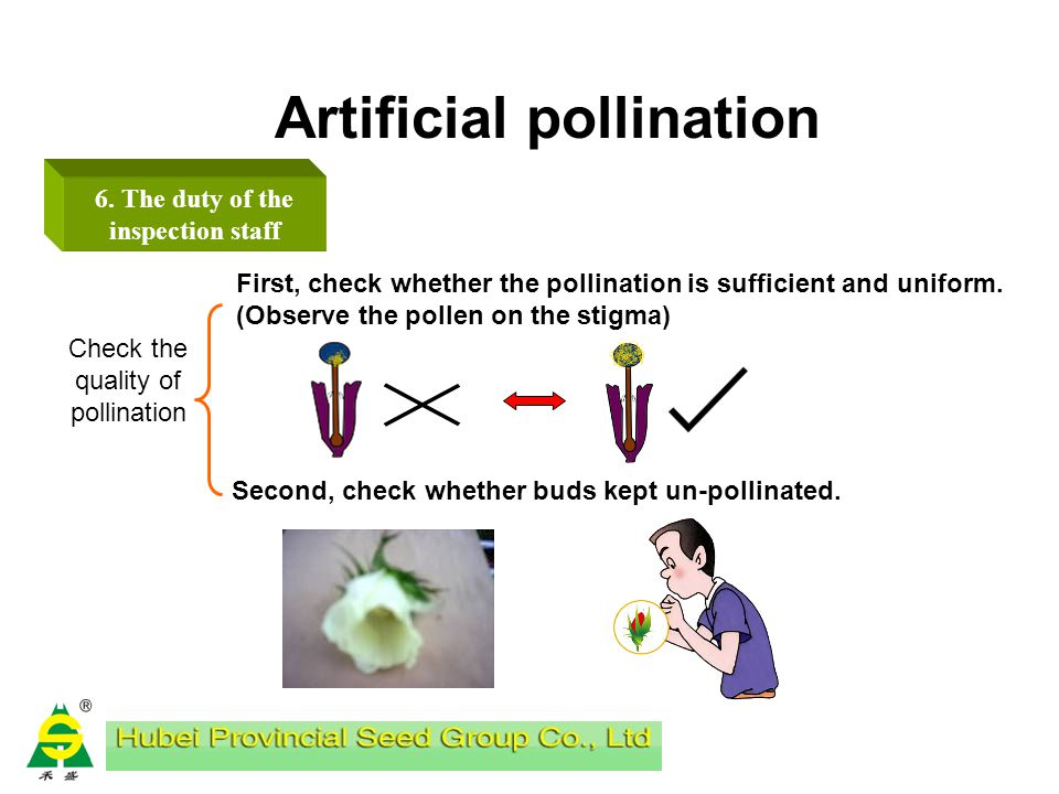 Artificial pollination 6. The duty of the inspection staff 5:00-7:00 AM check emasculating condition of the previous day, examine by monitoring points