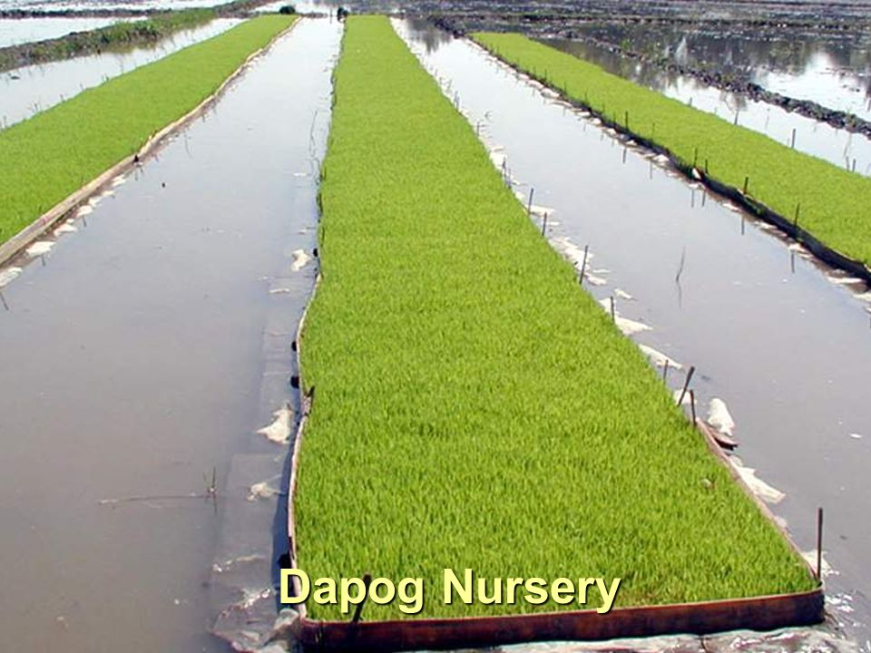 Dapog Nursery