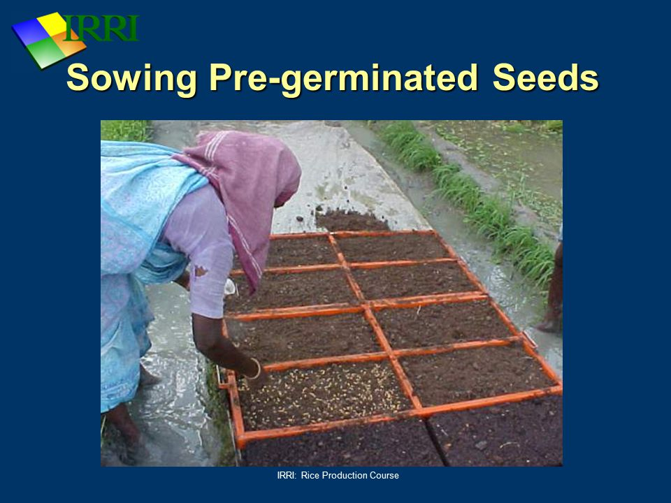 IRRI: Rice Production Course Sowing Pre-germinated Seeds