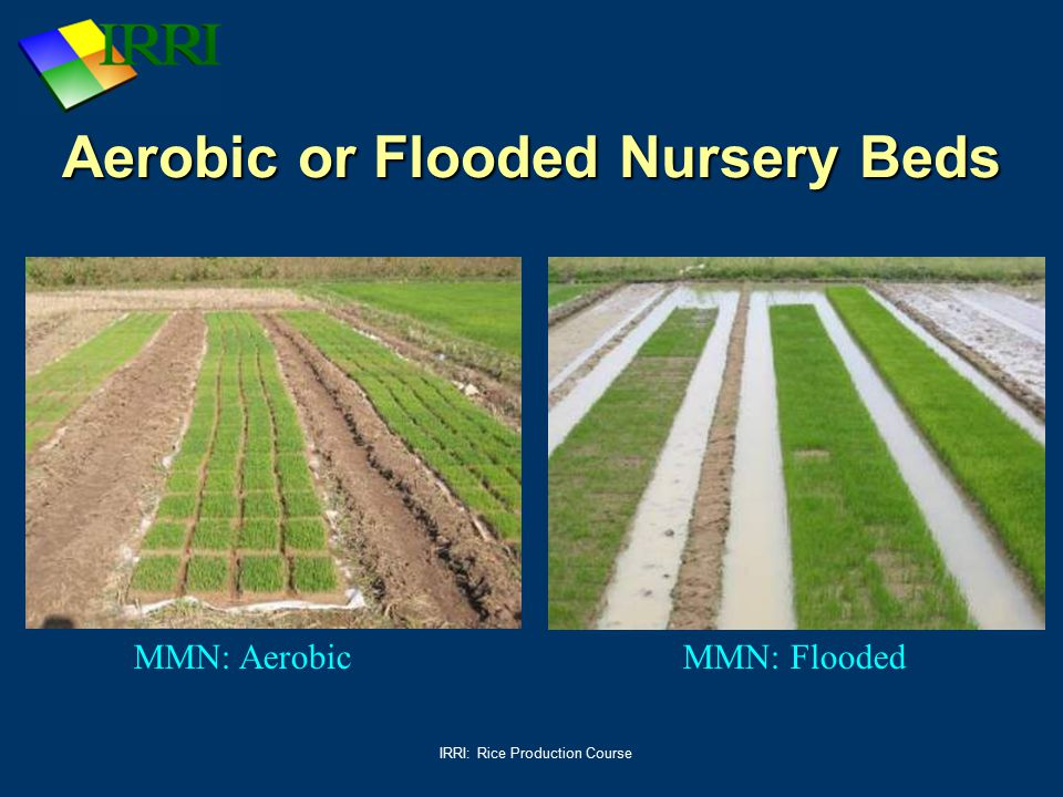 IRRI: Rice Production Course Aerobic or Flooded Nursery Beds MMN: AerobicMMN: Flooded