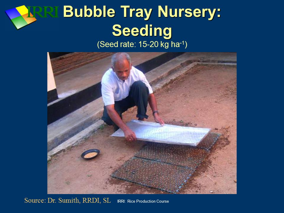 IRRI: Rice Production Course Bubble Tray Nursery: Seeding Bubble Tray Nursery: Seeding (Seed rate: 15-20 kg ha -1 ) Source: Dr. Sumith, RRDI, SL