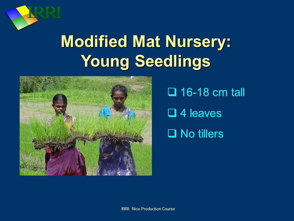 IRRI: Rice Production Course Modified Mat Nursery: Young Seedlings  16-18 cm tall  4 leaves  No tillers