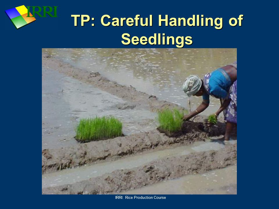 IRRI: Rice Production Course TP: Careful Handling of Seedlings
