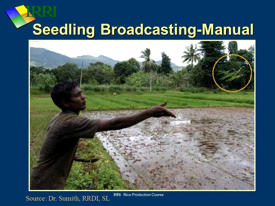 IRRI: Rice Production Course Seedling Broadcasting-Manual Source: Dr. Sumith, RRDI, SL