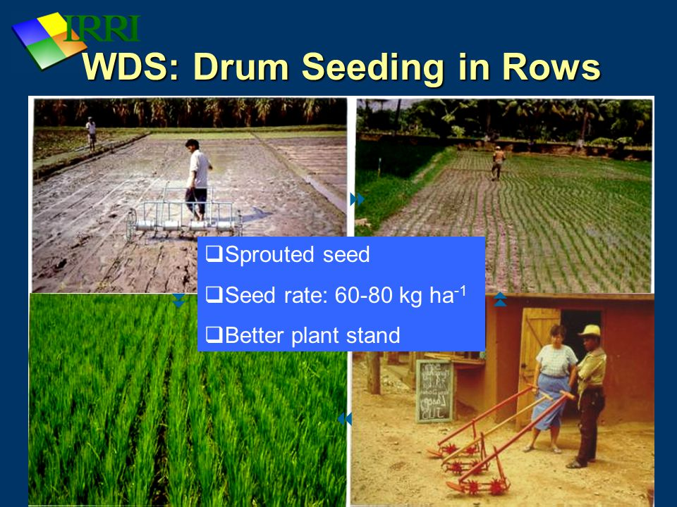 IRRI: Rice Production Course WDS: Drum Seeding in Rows     Sprouted seed  Seed rate: 60-80 kg ha -1  Better plant stand