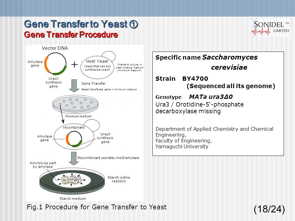(18/24) Specific name Saccharomyces cerevisiae Strain BY4700 (Sequenced all its genome) Genotype MATa ura3Δ0 Ura3 / Orotidine-5'-phosphate decarboxylase missing Department of Applied Chemistry and Chemical Engineering, Faculty of Engineering, Yamaguchi University Fig.1 Procedure for Gene Transfer to Yeast Gene Transfer to Yeast ① Gene Transfer Procedure Vector DNA Amylase gene Uracil synthesis gene Host Yeast Yeast that can not synthesize uracil Unable to culture in urasil missing medium (minimum medium) Gene Transfer Select transferred gene in minimum medium Minimum medium Amylase gene Uracil synthesis gene recombinant Recombinant secretes mold amylase Amylolysis part by amylase Starch iodine reaction Starch medium