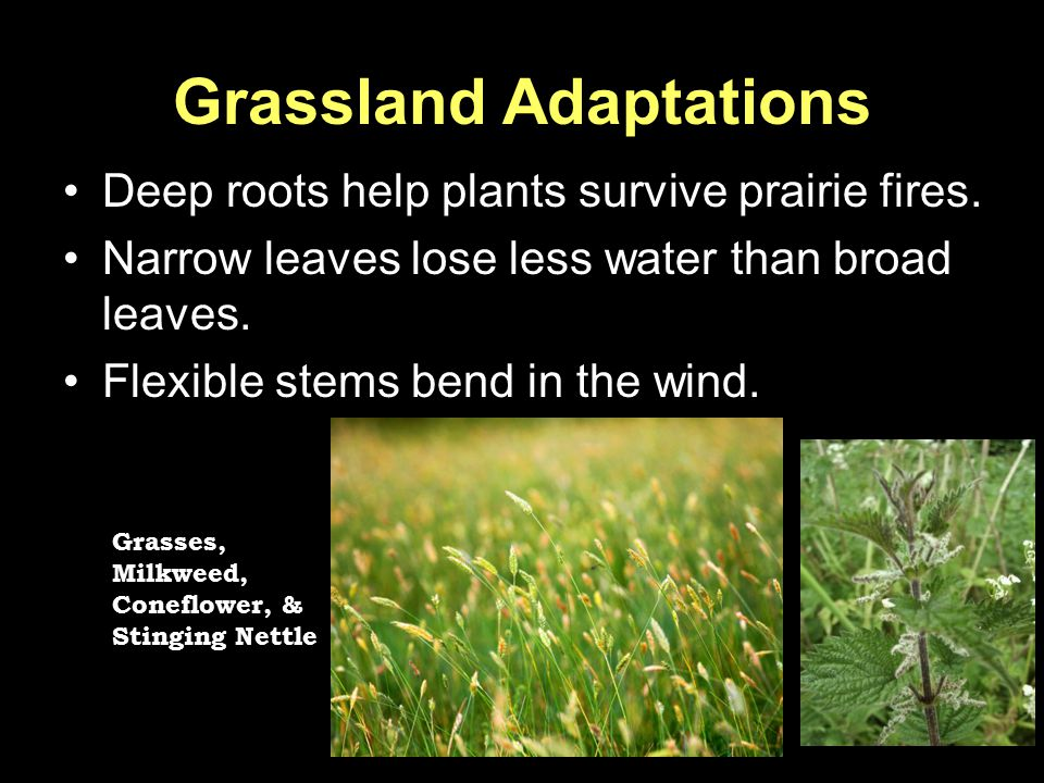 Grassland Adaptations Deep roots help plants survive prairie fires. Narrow leaves lose less water than broad leaves. Flexible stems bend in the wind.