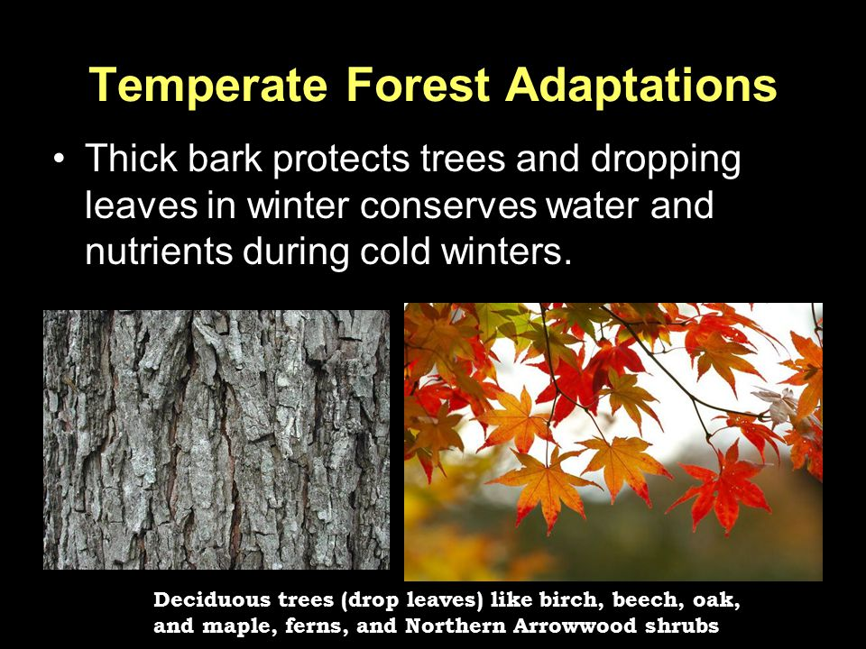 Temperate Forest Adaptations Thick bark protects trees and dropping leaves in winter conserves water and nutrients during cold winters. Deciduous tree