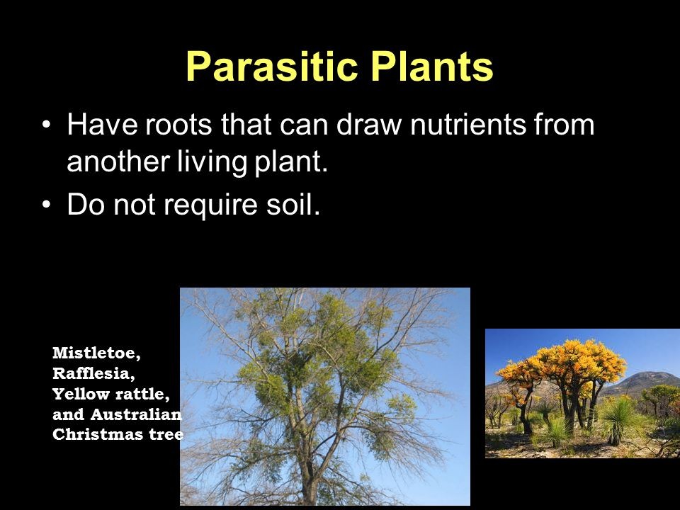 Parasitic Plants Have roots that can draw nutrients from another living plant. Do not require soil. Mistletoe, Rafflesia, Yellow rattle, and Australia