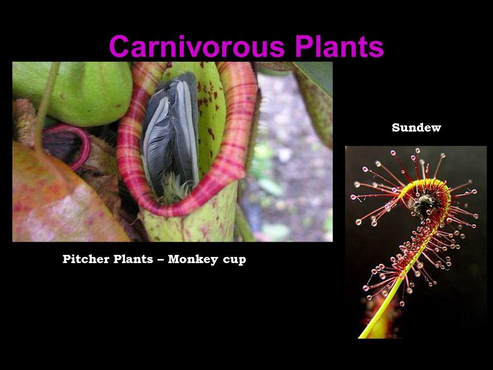 Carnivorous Plants Pitcher Plants – Monkey cup Sundew