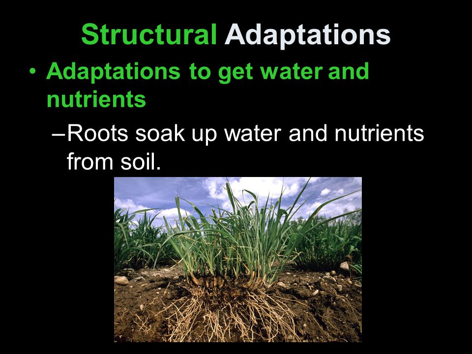 Structural Adaptations Adaptations to get water and nutrients –Roots soak up water and nutrients from soil.