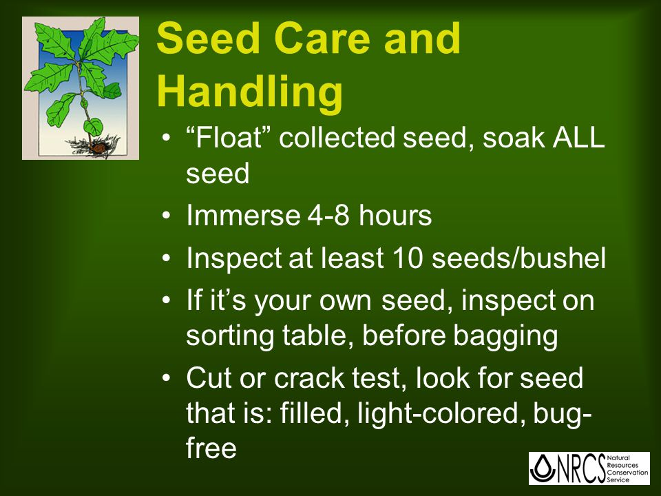 Seed Care and Handling Float collected seed, soak ALL seed Immerse 4-8 hours Inspect at least 10 seeds/bushel If it's your own seed, inspect on sorting table, before bagging Cut or crack test, look for seed that is: filled, light-colored, bug- free