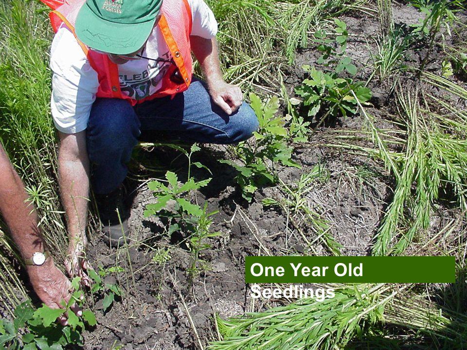 One Year Old Seedlings