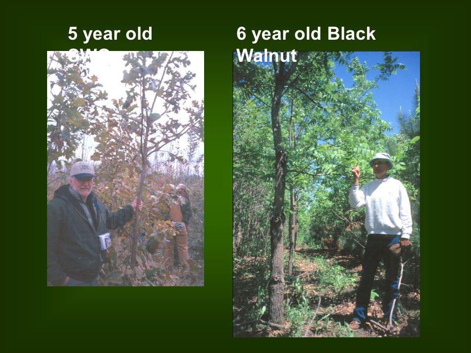 5 year old SWO 6 year old Black Walnut