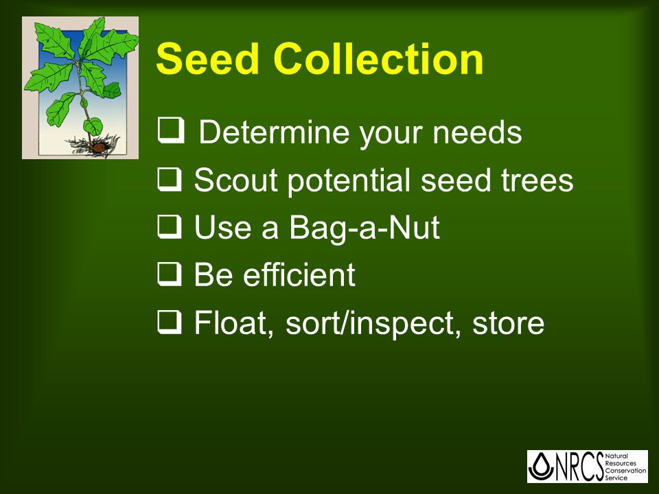 Seed Collection  Determine your needs  Scout potential seed trees  Use a Bag-a-Nut  Be efficient  Float, sort/inspect, store