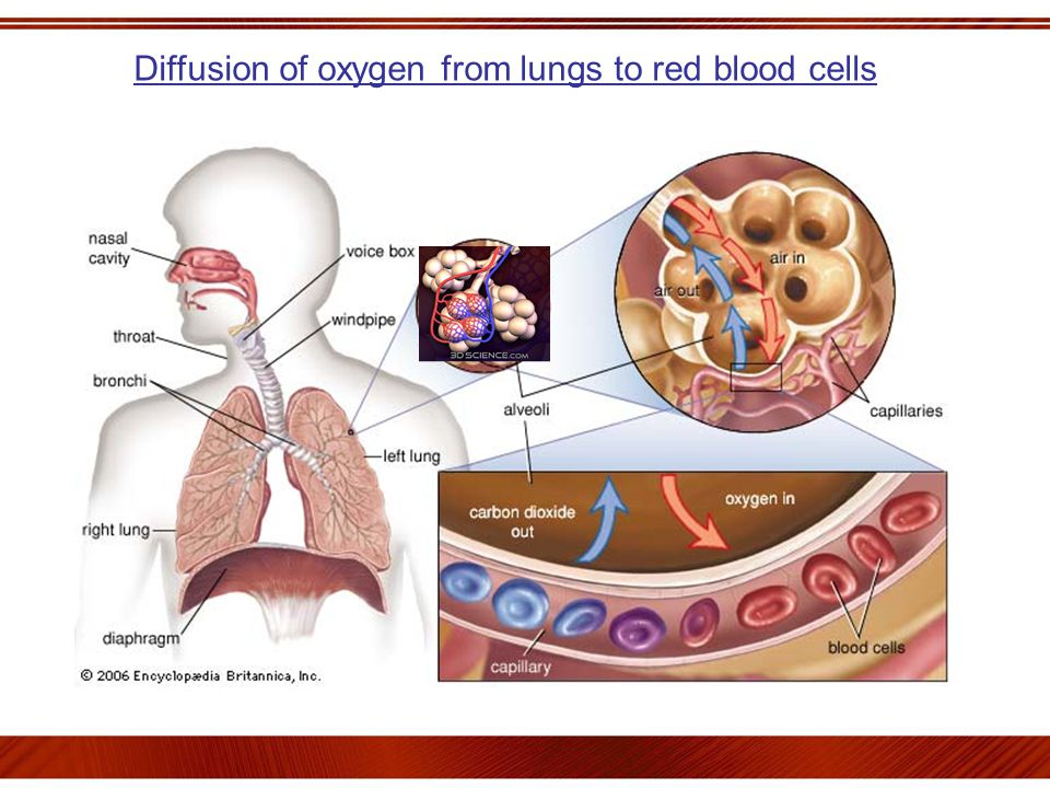 Diffusion of oxygen from lungs to red blood cells