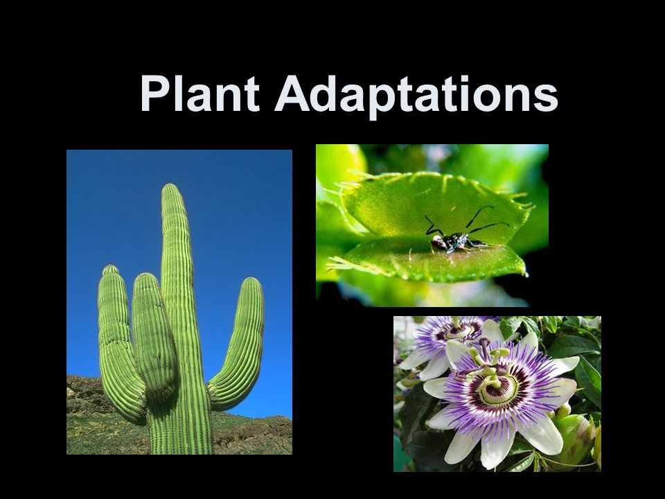 Structural Adaptations Adaptations for defense –Poison Ivy and Poison oak have toxins that give predators a painful itchy rash.