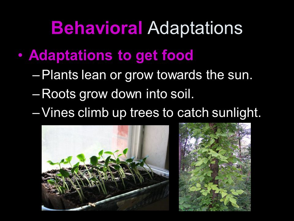 Behavioral Adaptations Adaptations to get food –Plants like the Venus fly trap, trap insects for food.