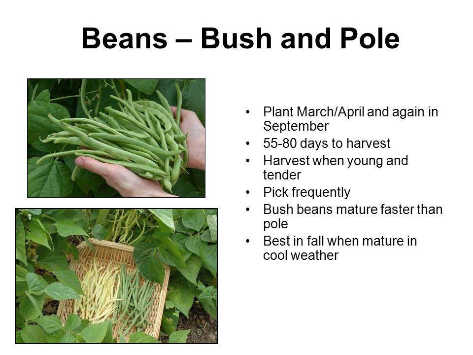 Beans – Bush and Pole Plant March/April and again in September 55-80 days to harvest Harvest when young and tender Pick frequently Bush beans mature f