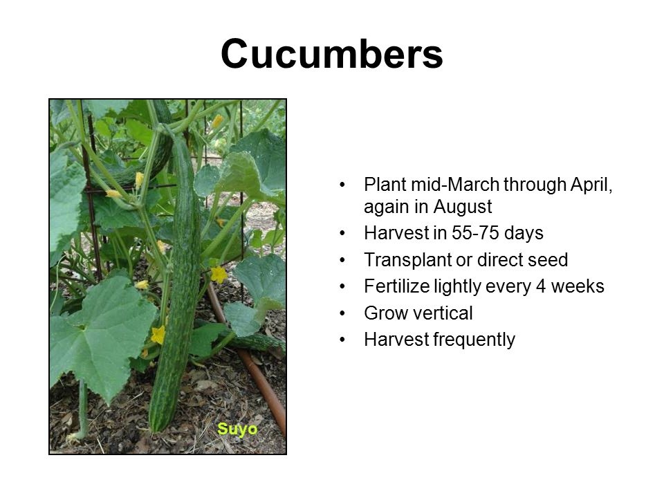 Cucumbers Plant mid-March through April, again in August Harvest in 55-75 days Transplant or direct seed Fertilize lightly every 4 weeks Grow vertical