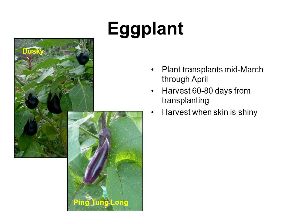 Eggplant Plant transplants mid-March through April Harvest 60-80 days from transplanting Harvest when skin is shiny Dusky Ping Tung Long