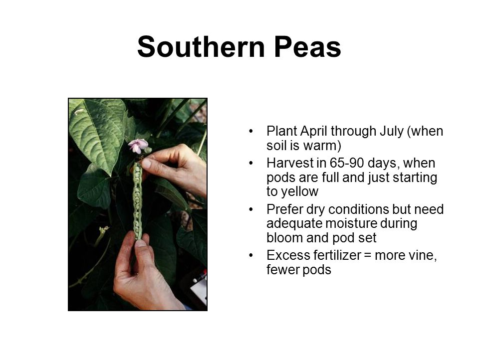 Southern Peas Plant April through July (when soil is warm) Harvest in 65-90 days, when pods are full and just starting to yellow Prefer dry conditions
