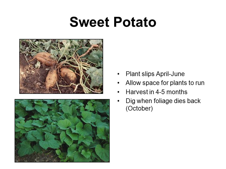 Sweet Potato Plant slips April-June Allow space for plants to run Harvest in 4-5 months Dig when foliage dies back (October)