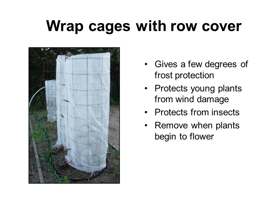 Wrap cages with row cover Gives a few degrees of frost protection Protects young plants from wind damage Protects from insects Remove when plants begi