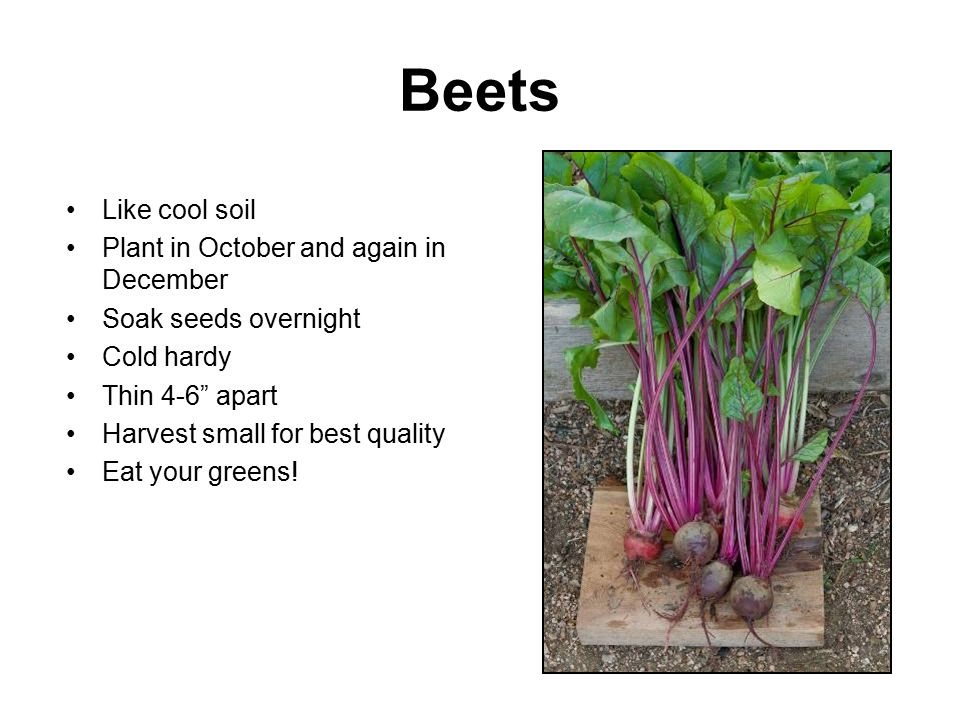 "Beets Like cool soil Plant in October and again in December Soak seeds overnight Cold hardy Thin 4-6"" apart Harvest small for best quality Eat your gr"