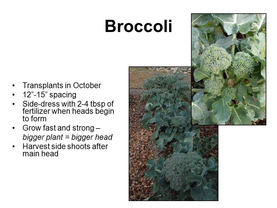 "Broccoli Transplants in October 12""-15"" spacing Side-dress with 2-4 tbsp of fertilizer when heads begin to form Grow fast and strong – bigger plant ="