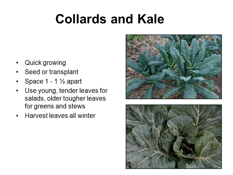 Collards and Kale Quick growing Seed or transplant Space 1 - 1 ½ apart Use young, tender leaves for salads, older tougher leaves for greens and stews