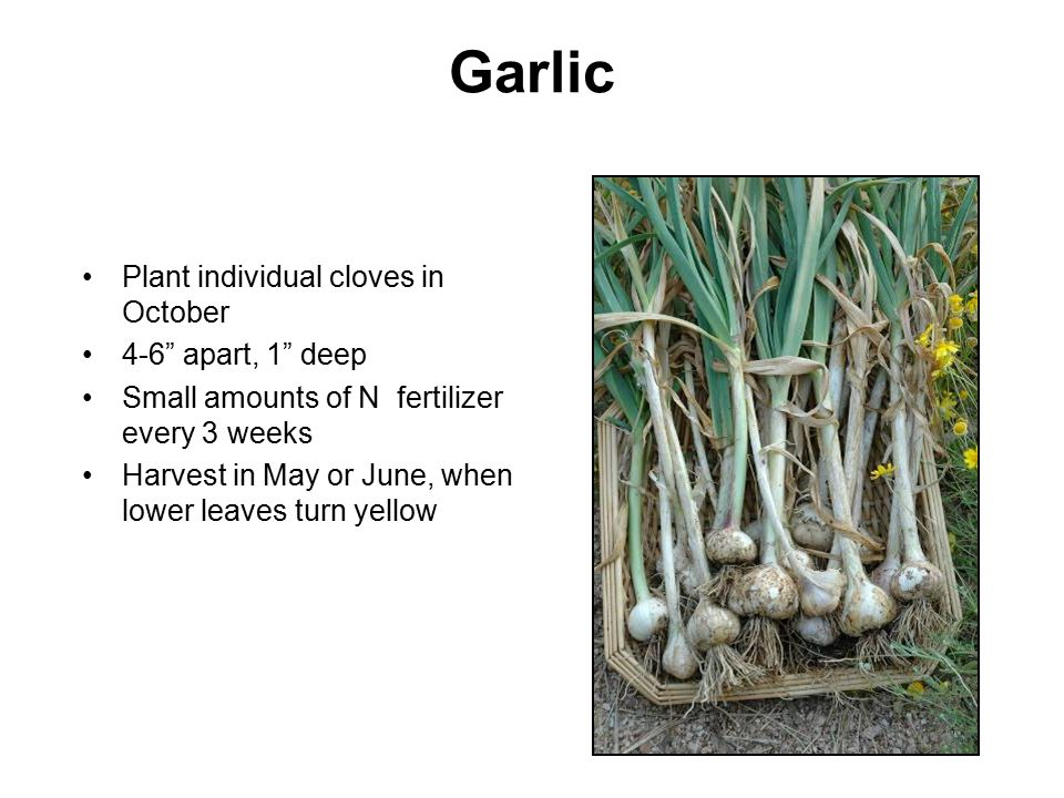 "Garlic Plant individual cloves in October 4-6"" apart, 1"" deep Small amounts of N fertilizer every 3 weeks Harvest in May or June, when lower leaves tu"