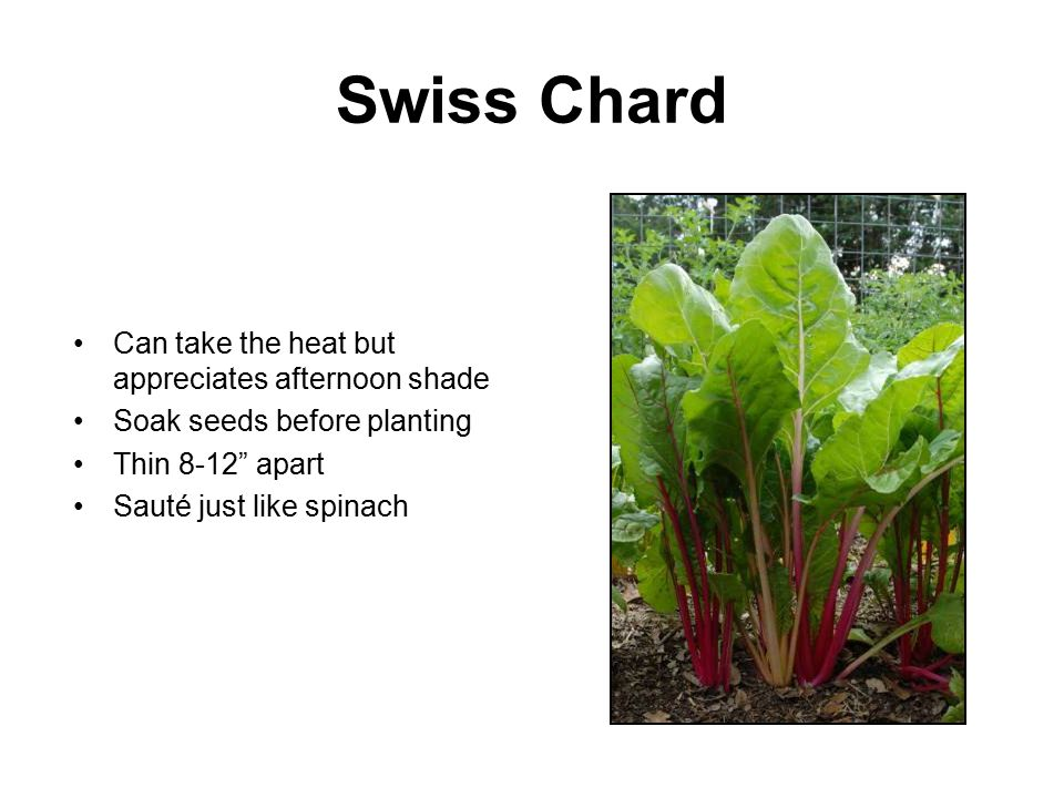 "Swiss Chard Can take the heat but appreciates afternoon shade Soak seeds before planting Thin 8-12"" apart Sauté just like spinach"