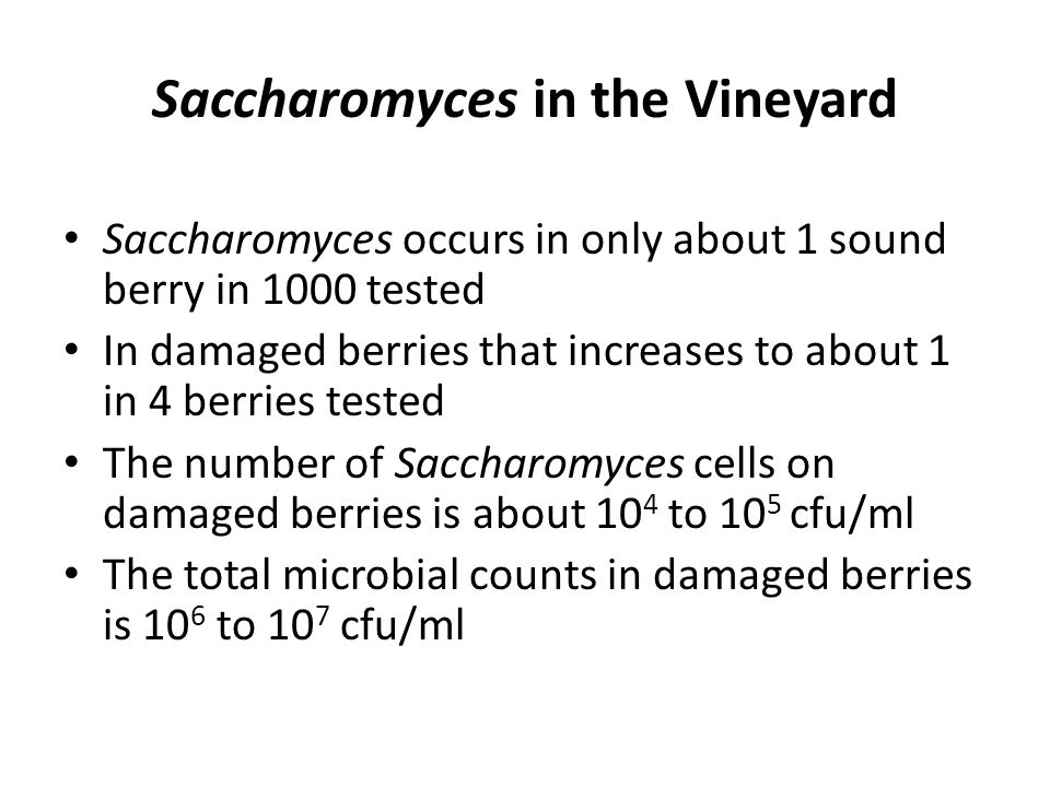 Saccharomyces in the Vineyard Saccharomyces occurs in only about 1 sound berry in 1000 tested In damaged berries that increases to about 1 in 4 berries tested The number of Saccharomyces cells on damaged berries is about 10 4 to 10 5 cfu/ml The total microbial counts in damaged berries is 10 6 to 10 7 cfu/ml