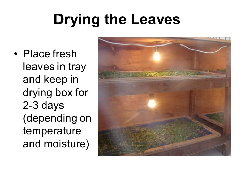 Drying the Leaves Place fresh leaves in tray and keep in drying box for 2-3 days (depending on temperature and moisture)