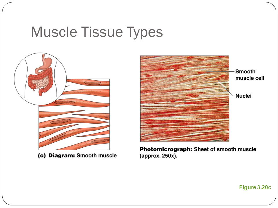 Muscle Tissue Types Figure 3.20c