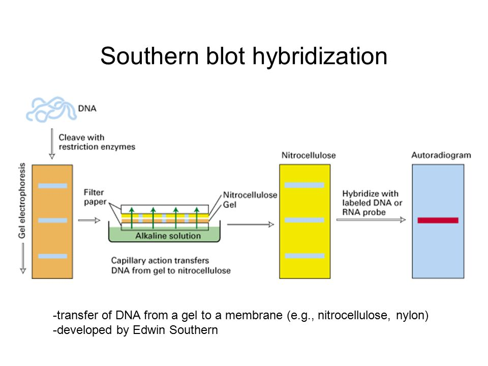 Southern blotting of genomic DNA Steps 1.Extraction of genomic DNA 2.
