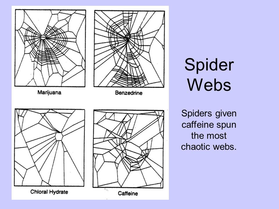 Spiders given caffeine spun the most chaotic webs. Spider Webs