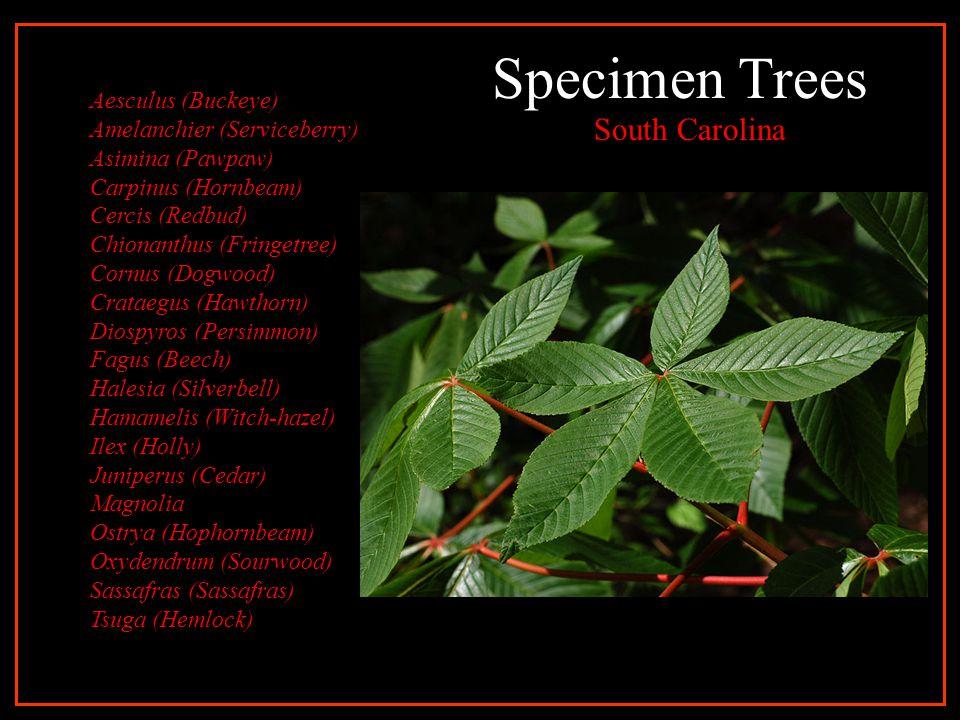 Specimen Trees South Carolina Aesculus (Buckeye) Amelanchier (Serviceberry) Asimina (Pawpaw) Carpinus (Hornbeam) Cercis (Redbud) Chionanthus (Fringetree) Cornus (Dogwood) Crataegus (Hawthorn) Diospyros (Persimmon) Fagus (Beech) Halesia (Silverbell) Hamamelis (Witch-hazel) Ilex (Holly) Juniperus (Cedar) Magnolia Ostrya (Hophornbeam) Oxydendrum (Sourwood) Sassafras (Sassafras) Tsuga (Hemlock)