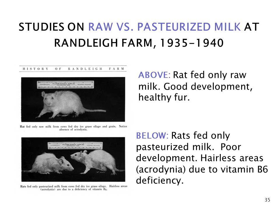 STUDIES ON RAW VS.PASTEURIZED MILK AT RANDLEIGH FARM, 1935-1940 ABOVE: Rat fed only raw milk.