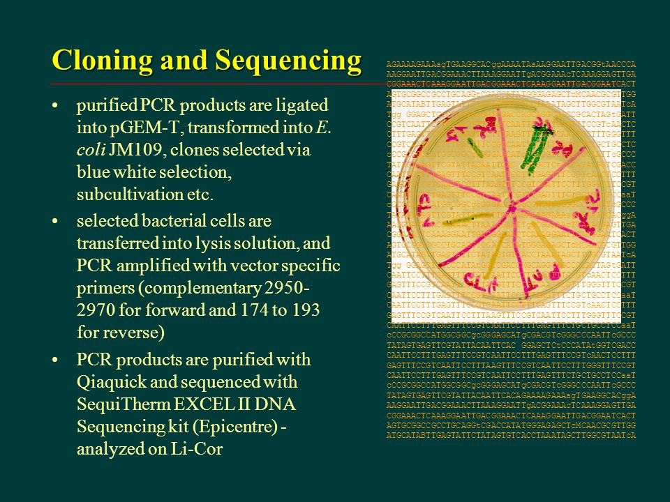 Cloning and Sequencing purified PCR products are ligated into pGEM-T, transformed into E.