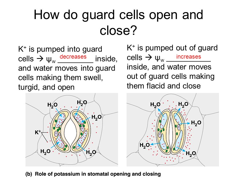 How do guard cells open and close.