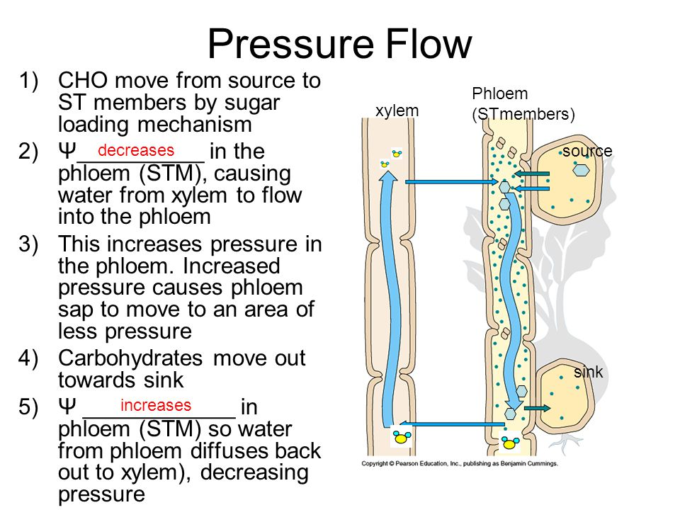 1)CHO move from source to ST members by sugar loading mechanism 2)Ψ__________ in the phloem (STM), causing water from xylem to flow into the phloem 3)