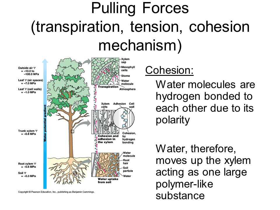 Pulling Forces (transpiration, tension, cohesion mechanism) Cohesion: Water molecules are hydrogen bonded to each other due to its polarity Water, the
