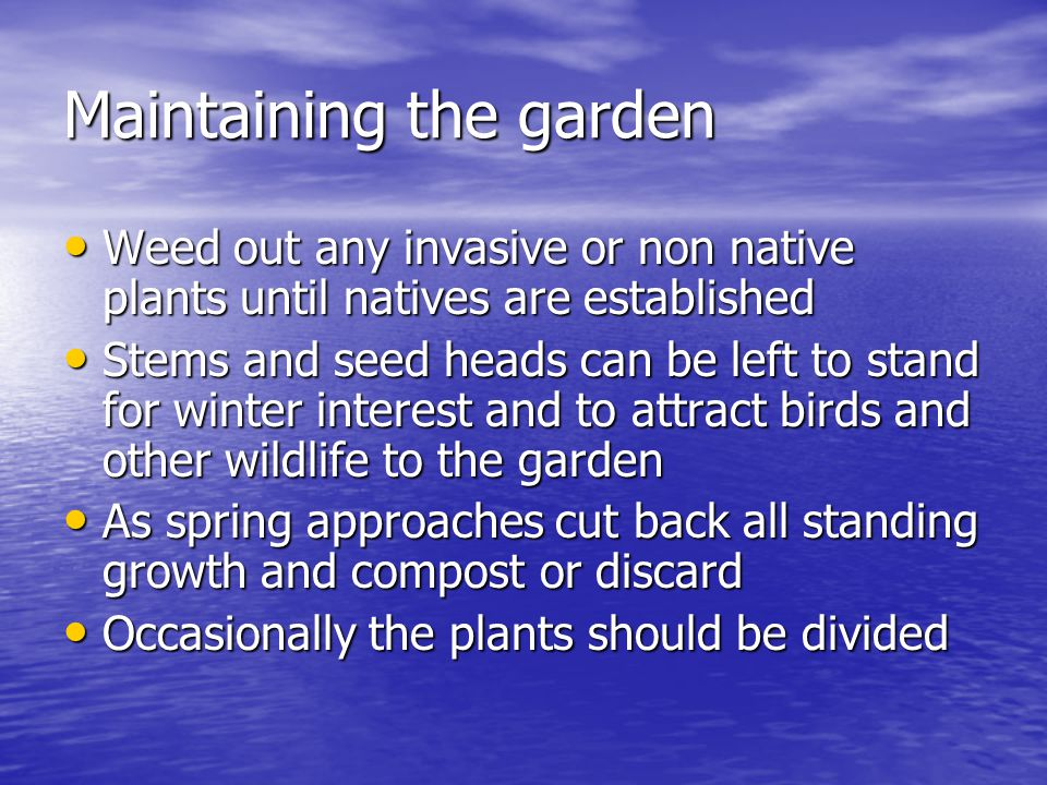 Maintaining the garden Weed out any invasive or non native plants until natives are established Weed out any invasive or non native plants until nativ