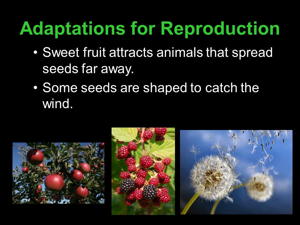 Adaptations for Reproduction Sweet fruit attracts animals that spread seeds far away. Some seeds are shaped to catch the wind.