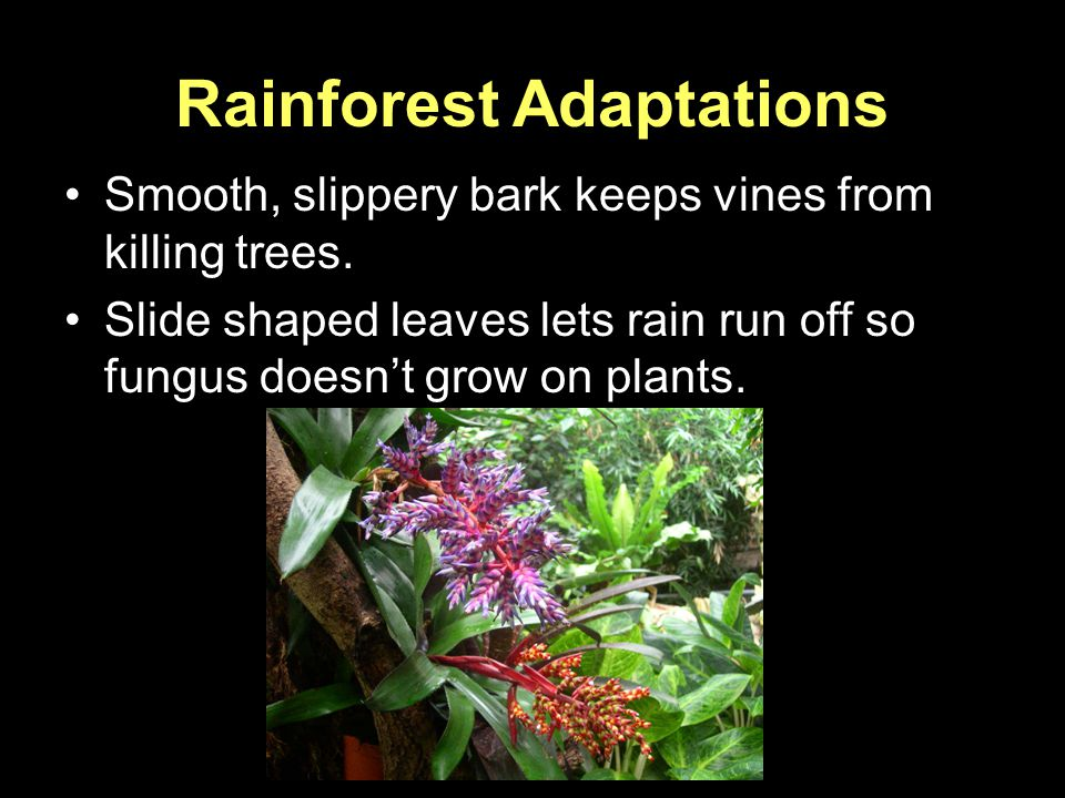 Rainforest Adaptations Smooth, slippery bark keeps vines from killing trees. Slide shaped leaves lets rain run off so fungus doesn't grow on plants.