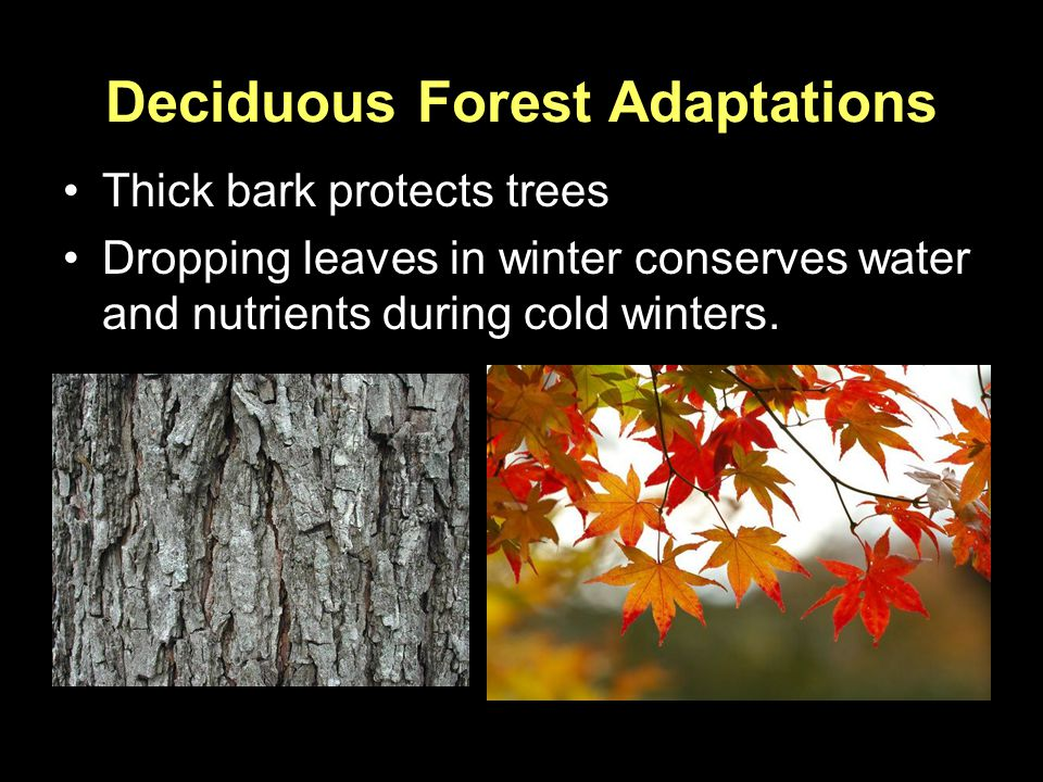 Deciduous Forest Adaptations Thick bark protects trees Dropping leaves in winter conserves water and nutrients during cold winters.